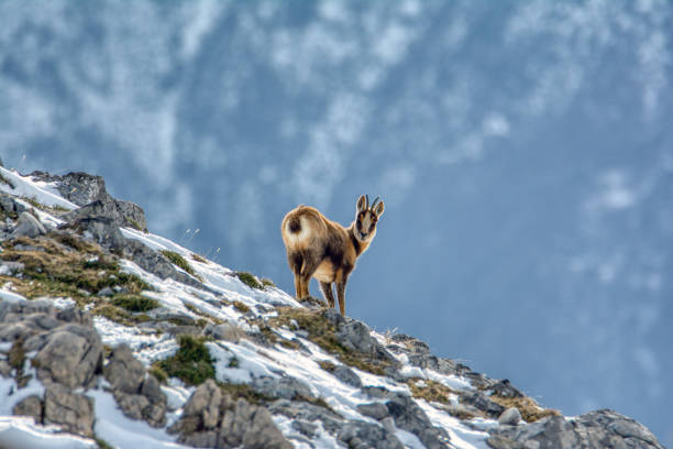 Chamois in the snow stock photo