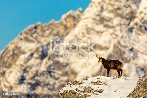 Chamois - Animal, Gams, Gämse, Animal Wildlife, Animals In The Wild