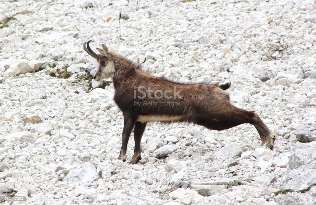 Chamois ( Rupicapra rupicapra) stock photo