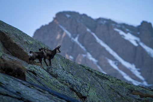 Chamois, Rupicapra rupicapra, on the rocky hill with montain covered by snow, mountain in Gran Paradiso, Italy. Autumn in the mountains. Mammal, herbivorous, wildlife scene