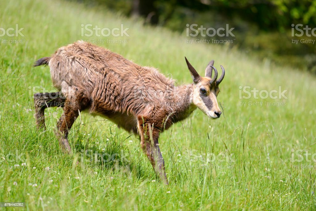 Chamois walking on grass stock photo