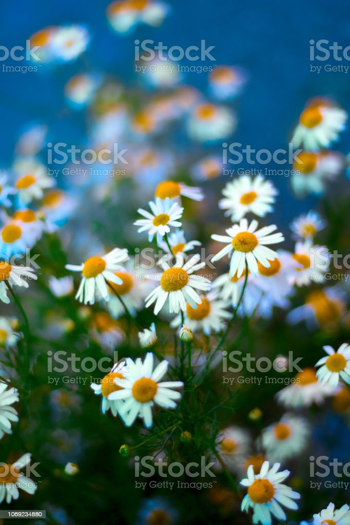 chamomile blooming flowers stock photo