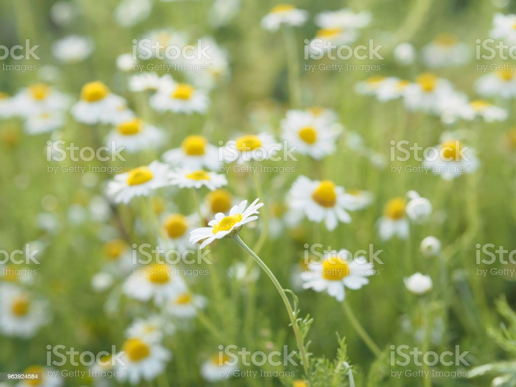 Chamomile blooming in full bloom - Royalty-free Advertisement Stock Photo