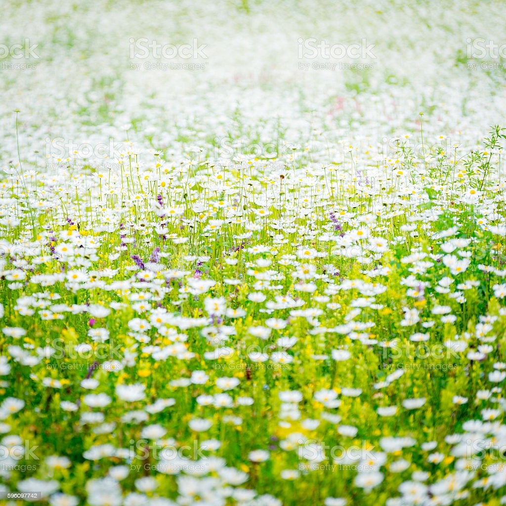 Chamomile blossoming square background Lizenzfreies stock-foto