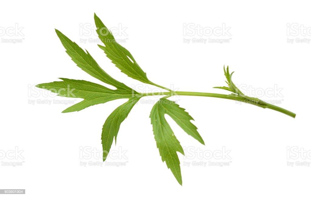 A chamomile, camomile leaf stock photo