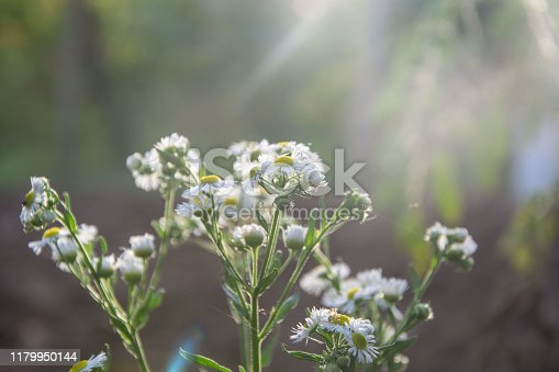 Tiny white and yellow flowers on a field, meadow with beautiful chamomile flowers, sun light in the day