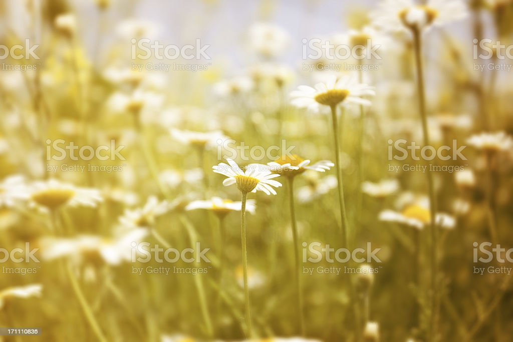 Chamomile field royalty-free stock photo