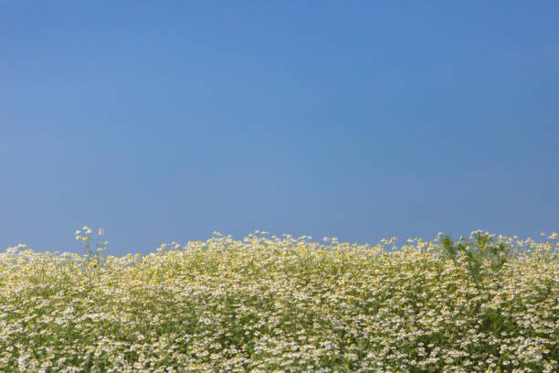 Kamille eingereicht – Foto