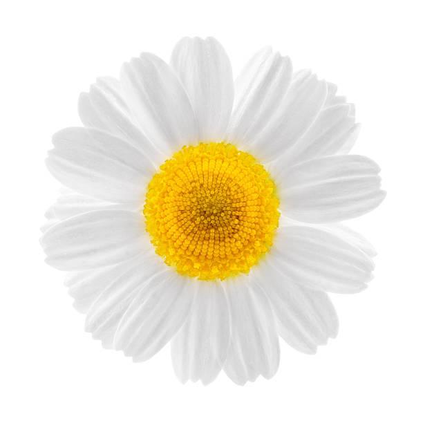 primer plano de flores de manzanilla - planta de manzanilla fotografías e imágenes de stock