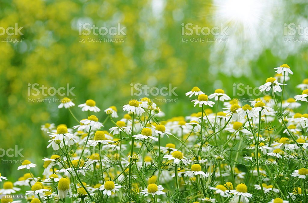 chamomile flower field royalty-free stock photo
