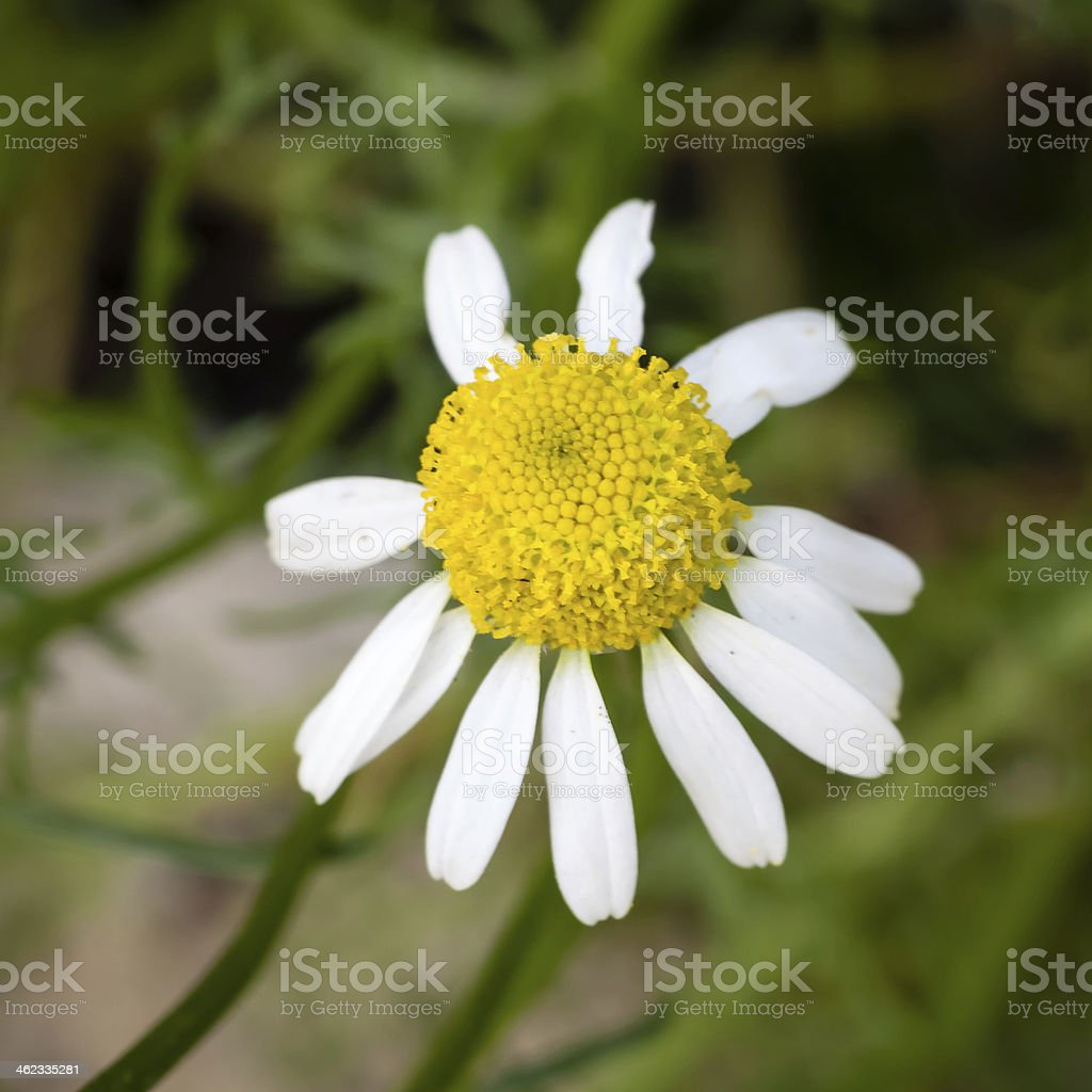 Chamomile Flower in the Garden royalty-free stock photo
