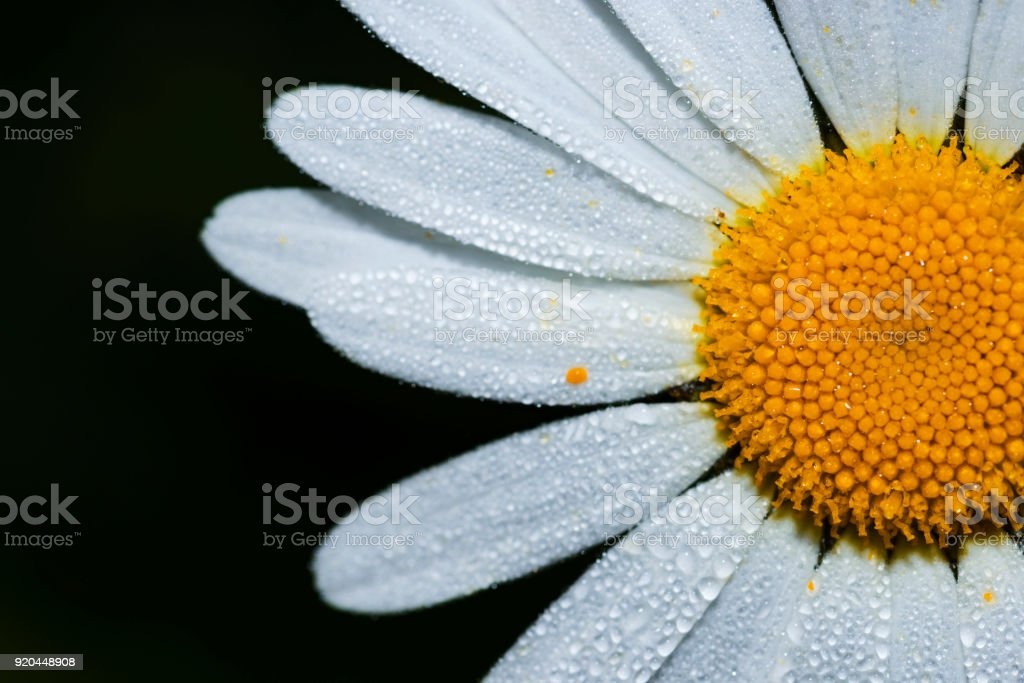 chamomile flower in the morning dew stock photo