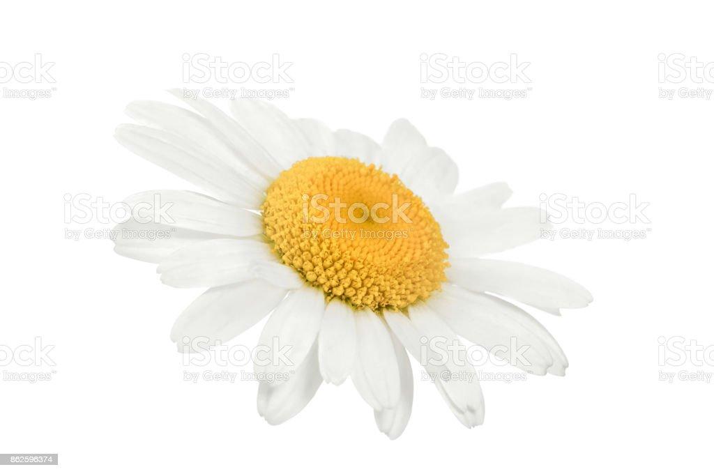 chamomile flower isolated on white stock photo