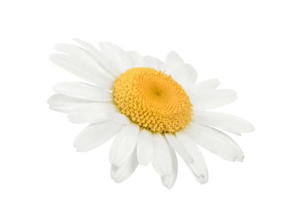 Kamille bloem geïsoleerd op wit foto