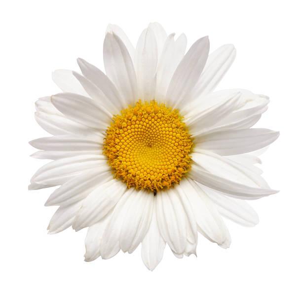aislado de flores de manzanilla - planta de manzanilla fotografías e imágenes de stock