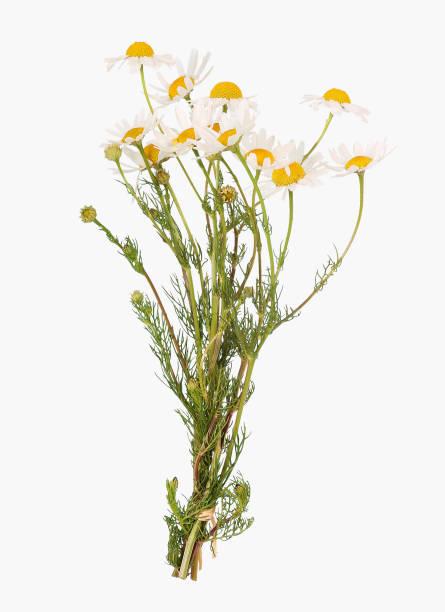 flor de la manzanilla, matricaria chamomilla - planta de manzanilla fotografías e imágenes de stock