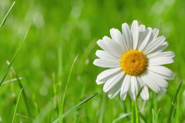 Chamomile flower on grass field stock photo
