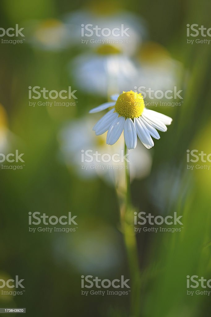chamomile flower royalty-free stock photo