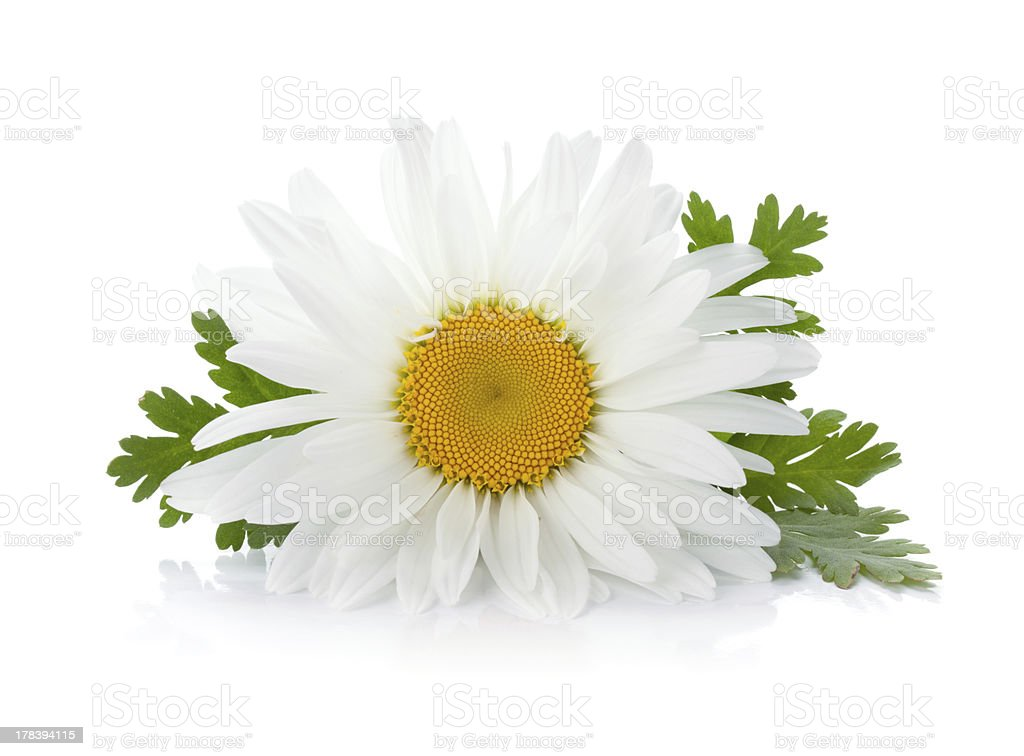 Chamomile flower with leaves stock photo