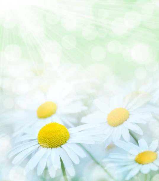 Chamomile flowers close-up stock photo