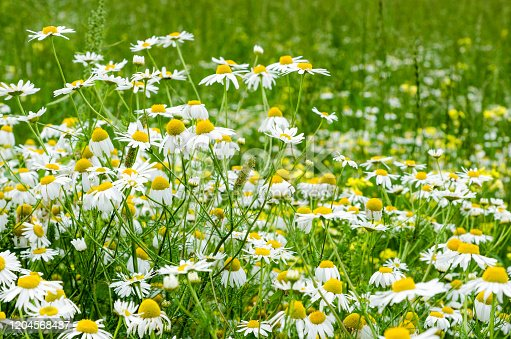 istock Chamomile flowers field. Background with beautiful blooming medical roman chamomiles. Alternative medicine and natural health care concept. Selective focus. 1204568487