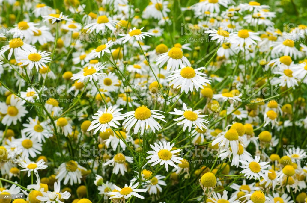 Chamomile flowers field. Background with beautiful blooming medical chamomiles. Alternative medicine and natural health care concept. Selective focus. stock photo