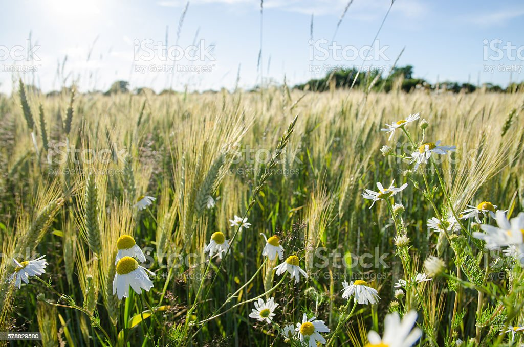 Chamomile flowers in a field stock photo