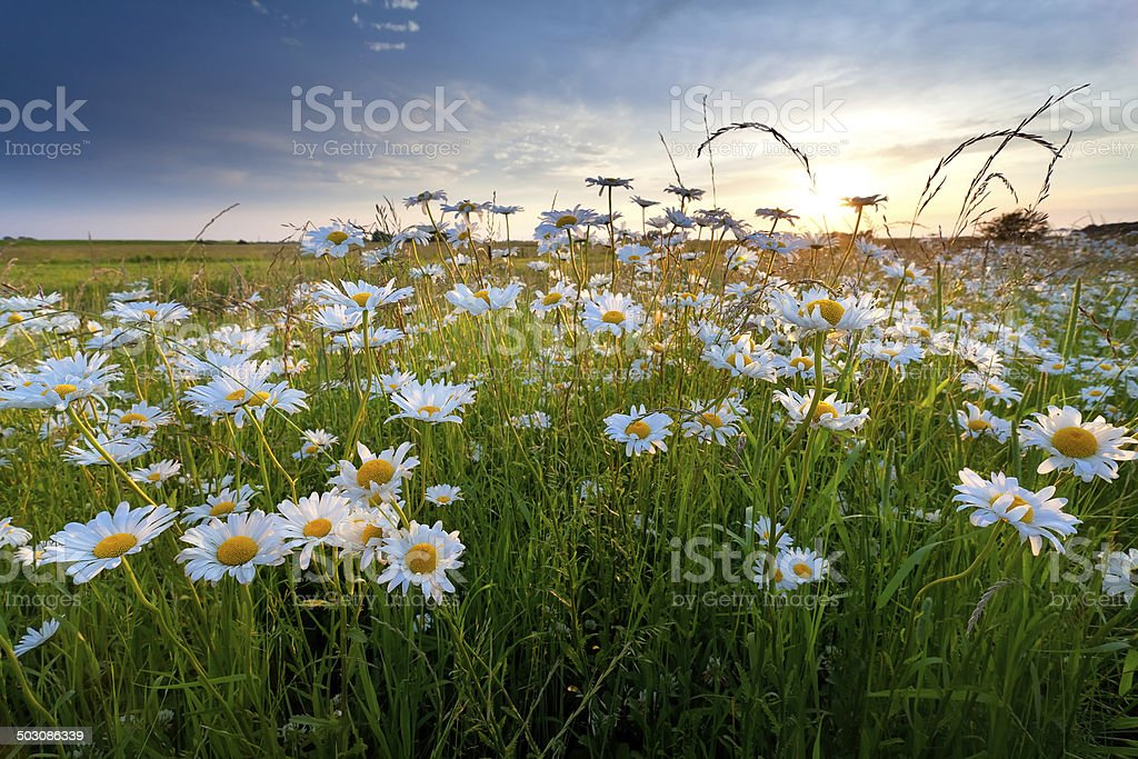 chamomile flowers in gold sunset light stock photo