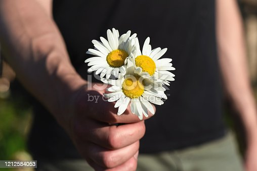 Heap of chamomile flowers in male hands closeup.