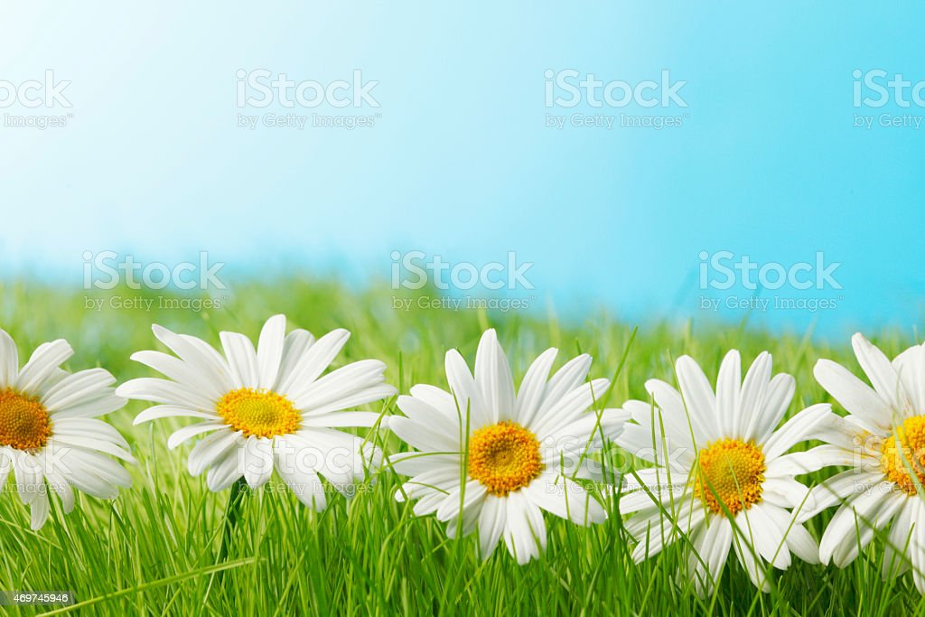 Chamomile flowers in the grass stock photo