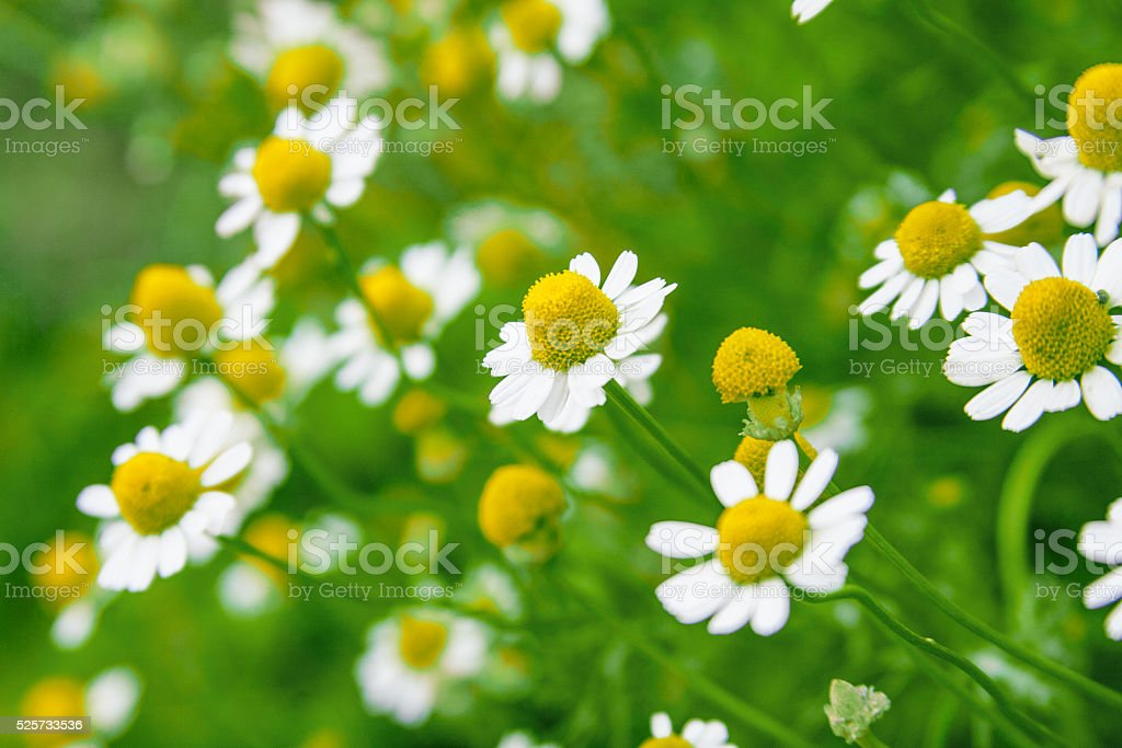 Chamomile (daisy) flowers stock photo