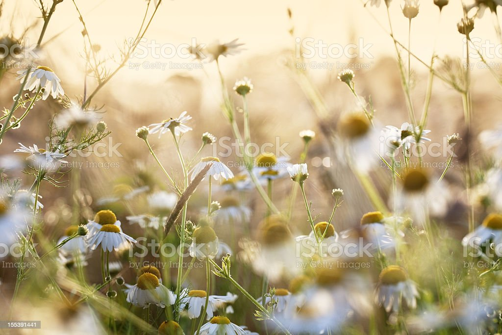 chamomile herb in wheat field stock photo