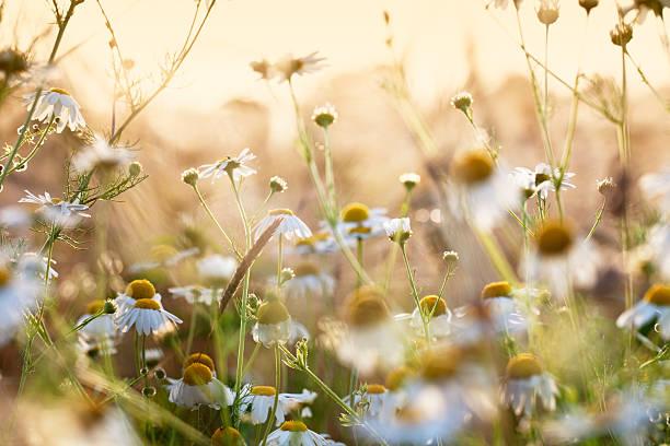 hierba en el campo de trigo de manzanilla - planta de manzanilla fotografías e imágenes de stock
