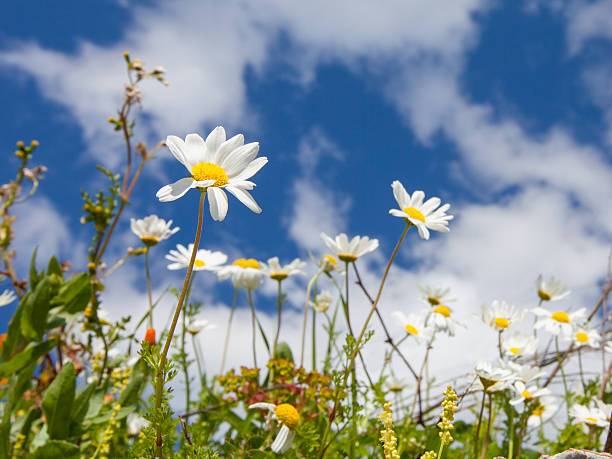 Chamomile in a grass on sky background stock photo