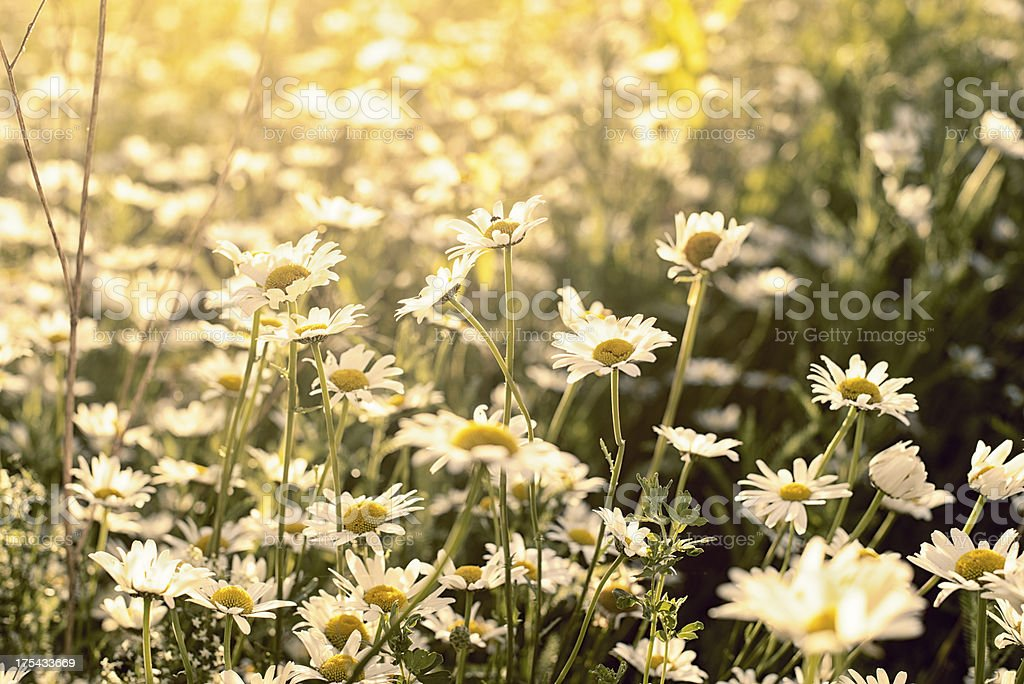 Chamomile in a meadow at sunset, Kamille, Matricaria chamomilla royalty-free stock photo