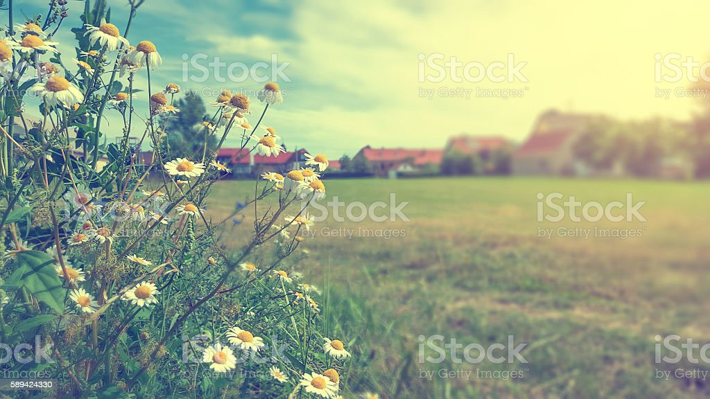 Chamomile in field by a village stock photo