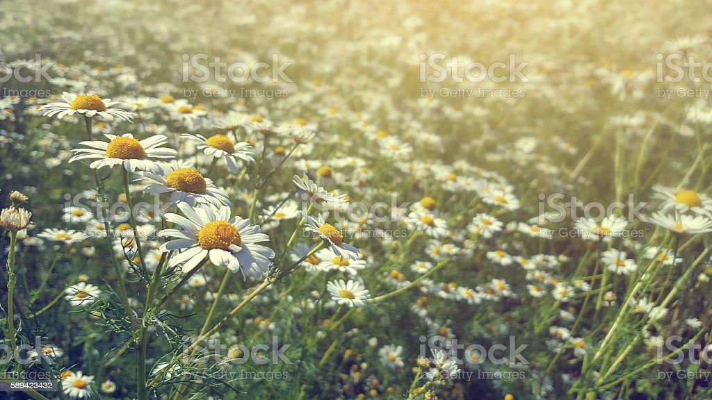 Chamomile in field in afternoon light stock photo