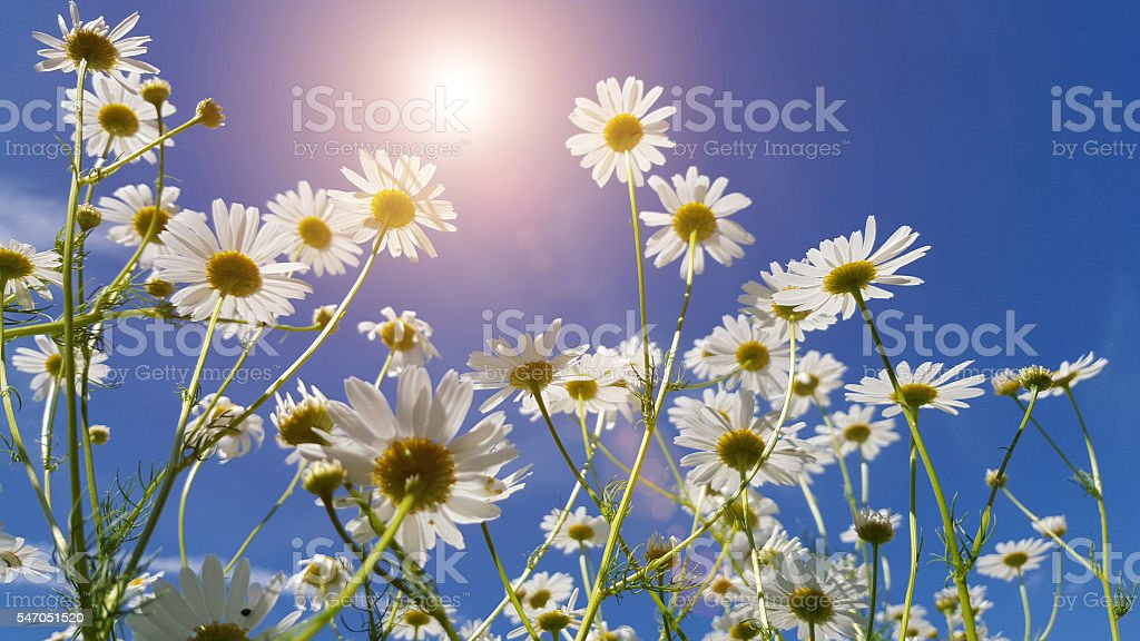 chamomile in field with blue sky stock photo
