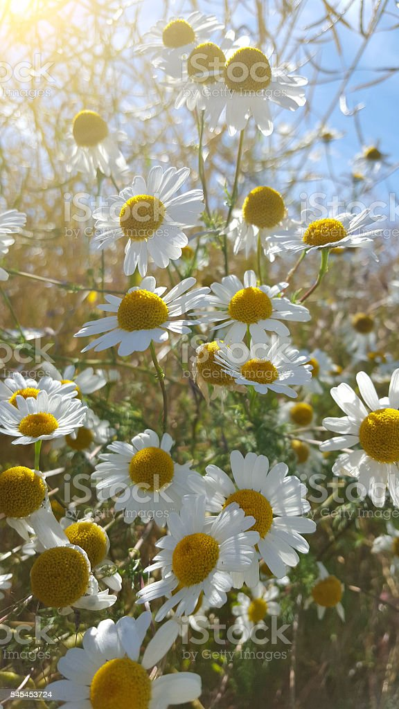 chamomile in field with sunlight stock photo