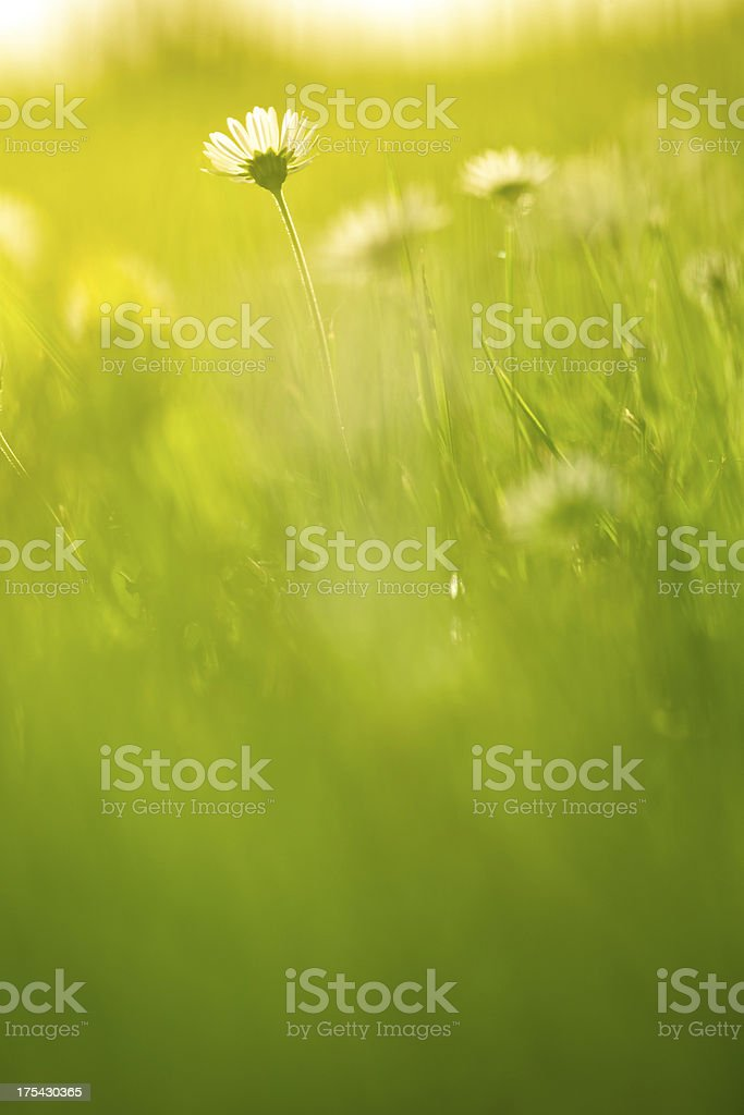 Chamomile in the field royalty-free stock photo