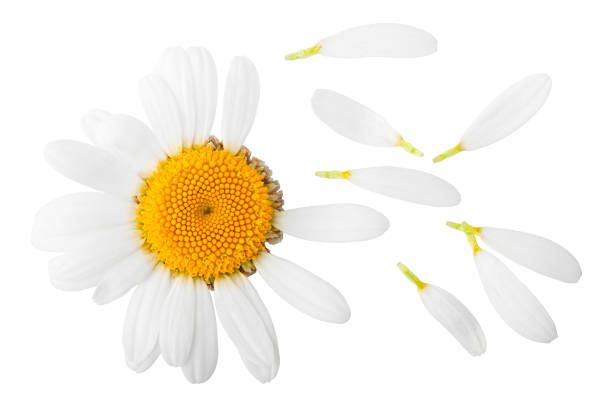 chamomile isolated on white background, clipping path, full depth of field - pétala imagens e fotografias de stock