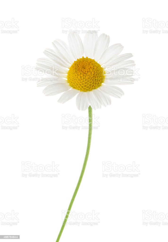 Chamomile isolated on white background. cutout stock photo