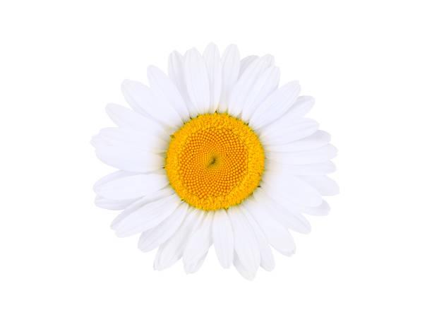 Kamille isoliert auf weißem Hintergrund – Foto
