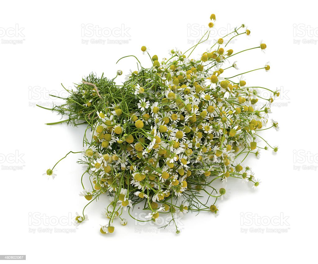 chamomile isolated on white background stock photo