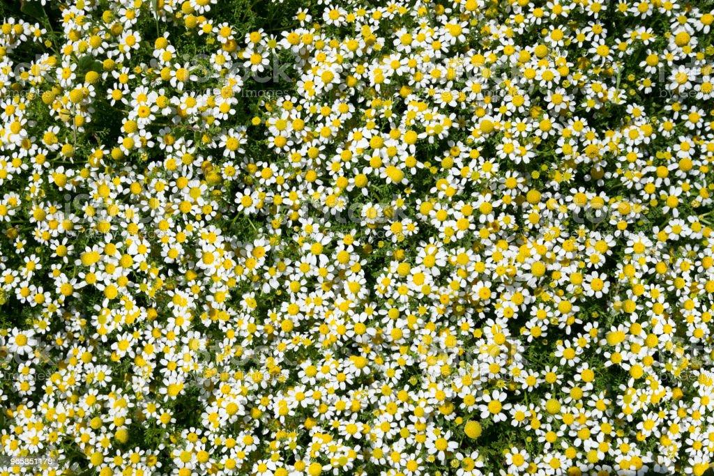 Kamille weide groen en whithe en gele achtergrond - Royalty-free Asteroideae Stockfoto