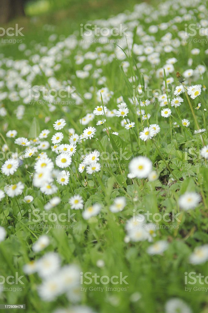 Chamomile meadow royalty-free stock photo