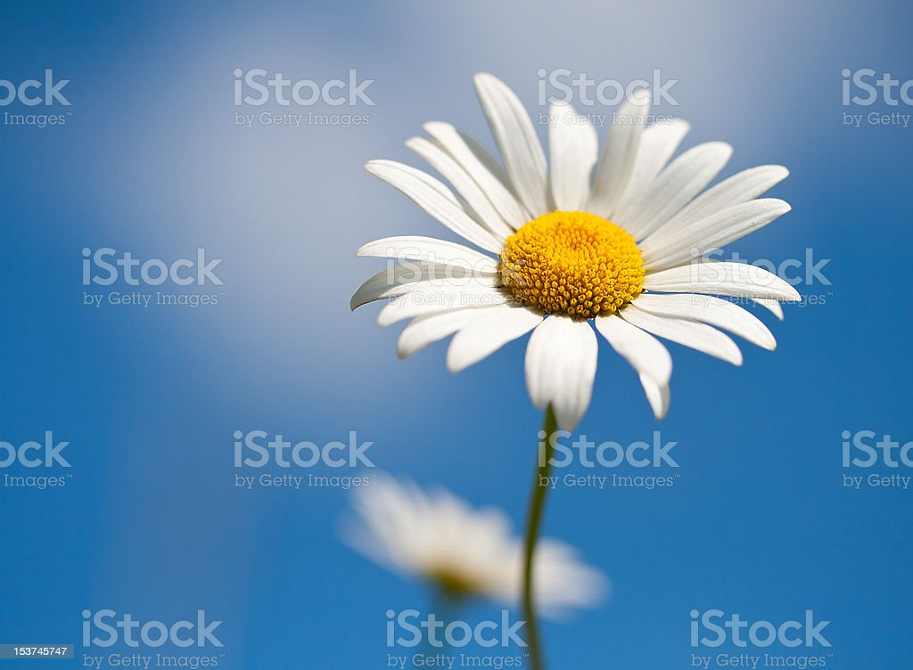 chamomile on blue sky selective focus royalty-free stock photo
