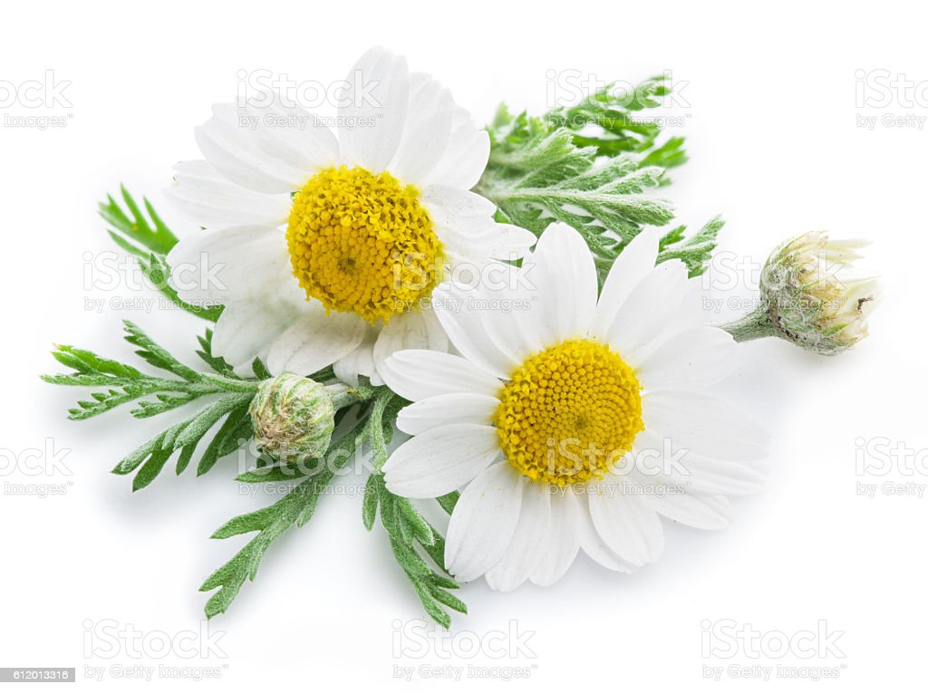Chamomile or camomile flowers. stock photo