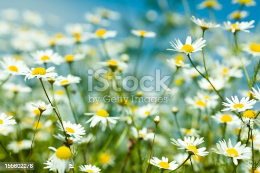 Chamomile in wheat field.
