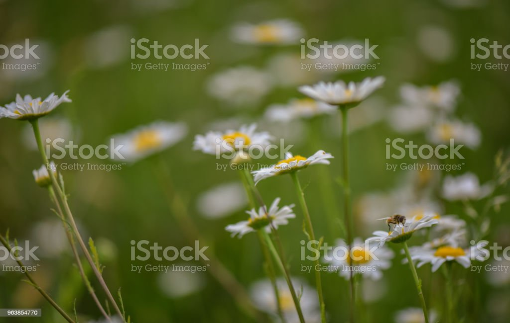 Chamomile - Royalty-free Agricultural Field Stock Photo